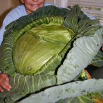 Katie and her famous cabbage